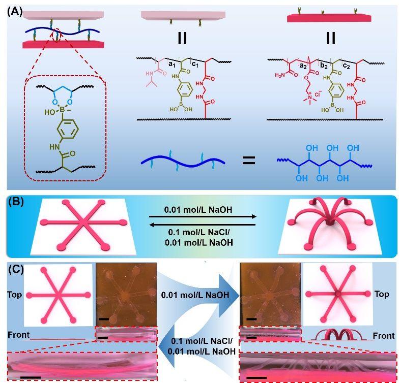 中科院宁波材料所:基于动态硼酸酯键的水凝胶的模块化组装和智能形变